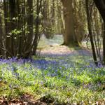 """""""Woodland Bluebells"""" by andy-coleman"""