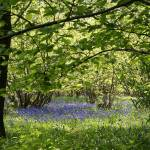 """Bluebell Coppice"" by andy-coleman"