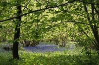 Bluebell Coppice