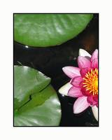 Native Lily Pad Plant and Flower