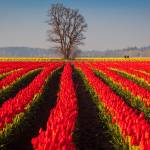 """""""Tulips and Tree"""" by Inge-Johnsson"""