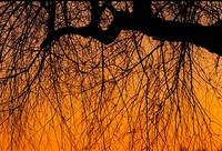 Tree-Limbs-at-Sunset