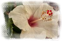 Pink/white Hibiscus flower/plant/blossom