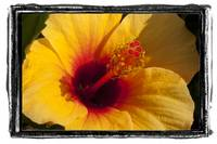 Orange/Yellow Hibiscus flower/plant