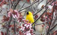 Goldfinch xxx --9068