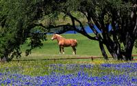 Texas-Horse-and-Bluebonnets