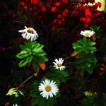 """""""Daisies at the Boathouse"""" by jbjoani2"""