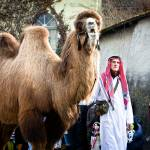 """Camel on Mainstreet"" by paulasuterphoto"