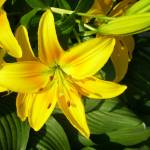 """Yellow Day lilies"" by MGPPhotography"