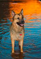 Cody In A Colorado River At Sundown