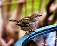 House Sparrow at the Bird Bath.