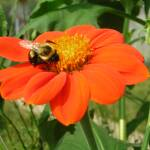 """Bee on a Mexican Sunflower"" by ERMPrints"
