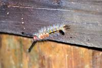 Yellow Marked Tussock Moth Caterpillar