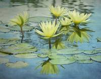 Blue/Yellow Lotus