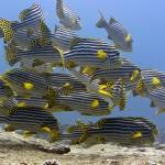"""Oriental sweetlips"" by MotHaiBaPhoto"