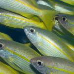 """""""Yellow-fins Goat-fishes"""" by MotHaiBaPhoto"""