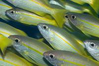 Yellow-fins Goat-fishes