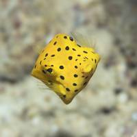 Black-spotted boxfish
