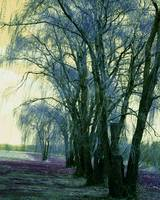 Line of Weeping Willow Trees