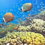 """""""Red-tailed Butterflyfishes"""" by MotHaiBaPhoto"""