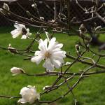 """New Magnolia blossom"" by rondascreationds"