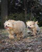 Best Of Friends-Two Cavapoos