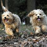 """""""Best Buddies Cavapoo Pups Romping"""" by McallenPhotography"""