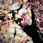 """Capital Cherry Blossoms"" by JeffAdkins"