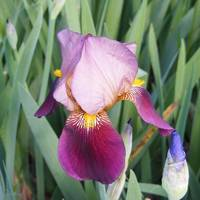 Arriba-Pink and purple iris
