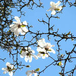 """Magnolia Tree Flowers art Blue Sky Floral"" by BasleeTroutman"