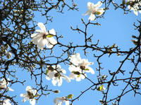 Magnolia Tree Flowers art Blue Sky Floral