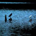 """Egrets by Moonlight"" by HTReeves"