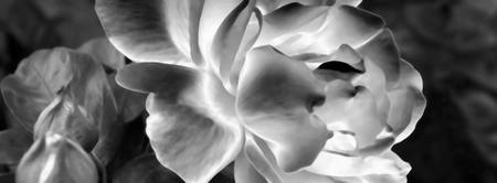 Black and White Rose    0392-3