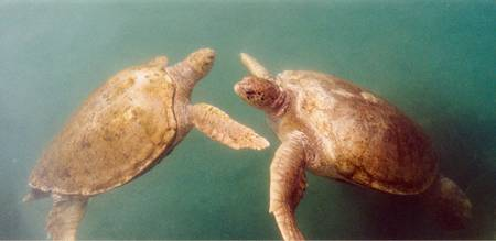Playful Sea Turtles 02