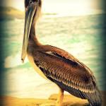 """""""Pelican2"""" by lwowski"""