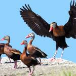 """""""Whistling Ducks"""" by mariancates"""