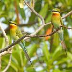 """Two BT Bee-eaters"" by Rivertay"