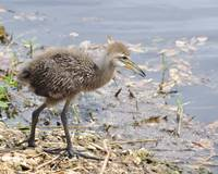 Limpkin chick