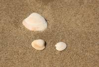 3 Shells in the Sand
