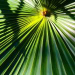 """Fan Palm Leaf Abstract"" by DonnaCorless"