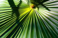 Fan Palm Leaf Abstract