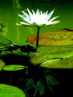 Lilypad with Reflection