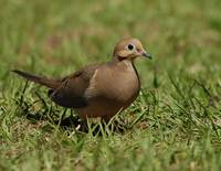 Mourning Dove Pose