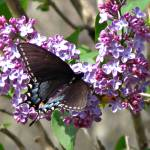 """Feasting on Lilacs"" by KennyMDavis"