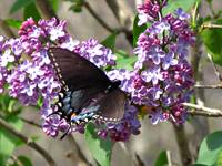 Feasting on Lilacs