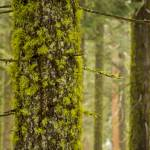 """Moss covered trees in Mariposa Grove"" by Eileen"