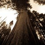 """Looking Up - Giant Sequoia"" by Eileen"