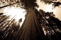 Looking Up - Giant Sequoia
