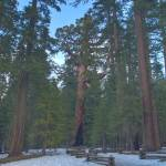 """""""The Grizzly Giant - Giant Sequoia in Yosemite Nati"""" by Eileen"""
