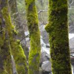 """Moss Covered Trees in Yosemite"" by Eileen"